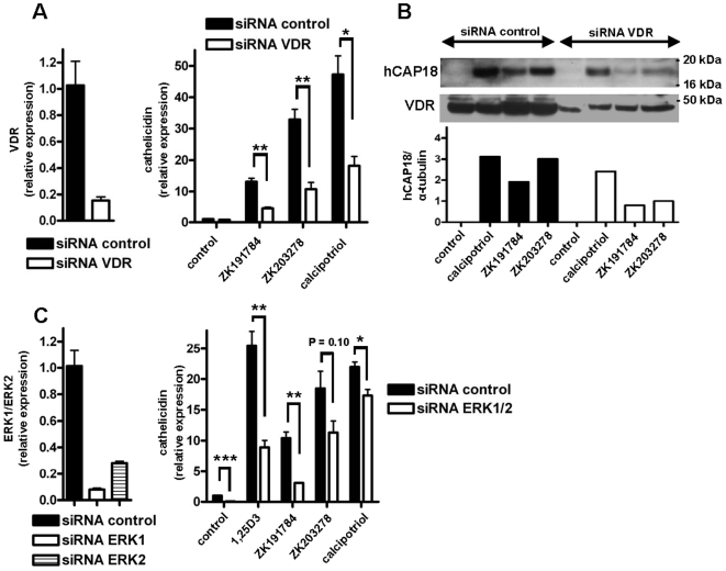 VDR and the MEK/ERK signaling pathway are involved in cathelicidin induction by vitamin D analogs. To characterize the role of the VDR in increased cathelicidin expression after treatment with vitamin D analogs, NHEK were transfected with siRNA to decrease VDR expression before stimulation with vitamin D analogs ZK191784, ZK203278 and calcipotriol (all at 10 −8 M). Silencing of VDR was confirmed by qPCR (A; left panel) and Western blot (B; middle panel). siRNA suppression of VDR significantly reduced the induction of cathelicidin mRNA by all vitamin D analogs after 24 hours (A; right panel) (* P