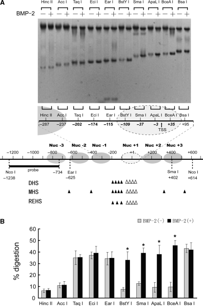 Alteration in the restriction enzyme accessibility at the FGFR3 proximal promoter induced by BMP-2 treatment. ( A ) C3H10T1/2 cells were incubated in the presence or absence of 200 ng/ml BMP-2 with 5% FBS for 1 day. Nuclei were then purified and digested with 25–200 U of restriction enzyme/ml, and purified DNA was digested to completion with Nco I. Products were detected by Southern blotting (top panel). A tentative assignment of the nucleosome positions in this region based on nuclease digestion is shown and is aligned with the nuclease-hypersensitive sites. Sites of cutting by DNase I and MNase and restriction enzyme are depicted by solid bars for basal conditions. Because MNase preferentially digests DNA in linker regions between nucleosomes, it is possible to locate nucleosomes within the FGFR3 proximal promoter. Hollow arrow heads indicate increases in the nuclease hypersensitivity upon BMP-2 exposure. ( B ) The relative nuclease sensitivity of restriction enzyme sites was quantitated, and the intensities of the radioactive bands were used to calculate the percentage of DNA digested. All the results are the means of three independent experiments ± standard deviation. * P