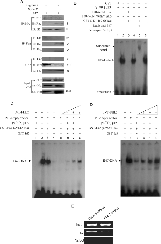 FHL2 competitively blunts the binding of Id2 to E47 and releases E47 to its cognate <t>DNA.</t> ( A ) FHL2 blunts the E47–Id2 association in MCF-7 cells. Myc-tagged Id2, E47 and/or Flag-tagged FHL2 were transiently cotransfected into MCF-7 cells. After 48 h <t>transfection,</t> cells were harvested and fractionated to a nuclear fraction. Equal amounts of nuclear lysates were immunoprecipitated and immunoblotted with the indicated antibodies. ( B–D ) FHL2 attenuates Id-inhibited E47–DNA binding in vitro . EMSA was performed as described in Materials and Methods section. ( E ) Knock down of the endogenous FHL2 in MCF-7 cells sharply attenuated the binding of the endogenous E47 to the exogenous target DNA sequence. ChIP assays were performed as described in Materials and methods section. NS, non-specific band.