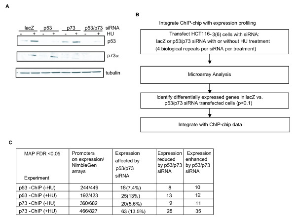 Integration of chromatin immunoprecipitation on DNA chip and gene expression profiling . (a) Small interfering RNA (siRNA)-mediated knockdown of <t>p53</t> and/or p73 in HCT16-3(6) cells. Immunoblot of lysates from untreated or hydroxyurea-treated HCT116-3(6) cells (1 mM, 16 hours) following transfection with chemically synthesized siRNA oligos against lacZ, p53, and/or p73. (b) Flow chart for the integrated analysis of chromatin immunoprecipitation on DNA chip with expression profiling. (c) Summary of the relationship between p53/p73 binding and gene expression. Column 4: expression in p53 and p73 siRNA-transfected cells is lower than that of lacZ-transfected cells. Column 5: expression in p53 and p73 siRNA-transfected cells is higher than that of lacZ-transfected cells.