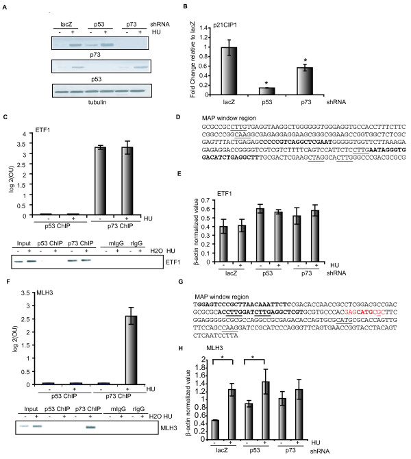 MLH3 is a p73-specific target induced by hydroxyurea . (a) Western blotting analysis of lysates from untreated or hydroxyurea (HU)-treated HCT116-3(6) cells (1 mM, 16 hours) stably expressing lacZ, p53, or p73 small hairpin RNA (shRNA). (b) Effect of p53 or p73 knockdown on p21cip1 gene expression. Real-time RT-PCR analysis of the steady-state p21cip1 mRNA level in HCT116-3(6) cells stably expressing p53 or p73 shRNA *P