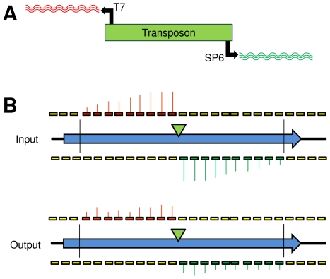 Diagrammatic representation of the TMDH process. (A) A library of transposon mutants is obtained using a custom transposon with outward-facing T7 and SP6 promoters. Genomic <t>DNA</t> is extracted from the library and digested using a restriction endonuclease ( Rsa I). Labelled RNA run-offs are obtained from the T7 and SP6 promoters by in vitro transcription. (B) The labelled RNA run-offs are hybridised to genome-wide tiling microarrays. By examining the distribution of microarray signals between <t>Rsa</t> I restriction sites (vertical black lines) it is possible to infer the location of the transposon (green triangle). Comparison of the library grown in vitro (input) with the library obtained after passage through a mouse (output) allows attenuating mutants to be identified, since they give lower signals in the output.