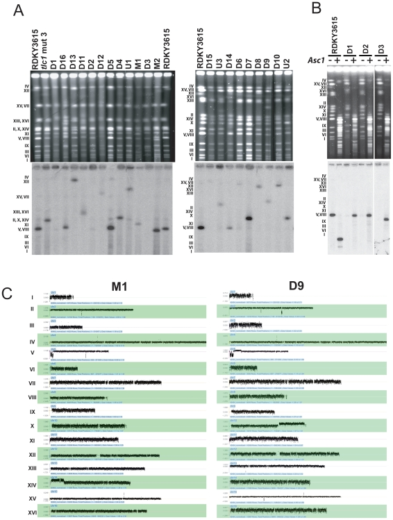 Karyotype analysis of 21 GCRs containing strains by PFGE and aCGH. (A) PFGE analysis of 21 Can r 5FOA r strains. Intact chromosomes from the indicated GCR strains were transferred to nitrocellulose membranes and hybridized to a radiolabeled chromosome V essential gene YEL058W probe. Rearranged chromosome V sizes were estimated relative to the sizes of chromosomes from the RDKY3615 wild-type and the CAN r 5FOA r tlc1 mut 3 strain that were run as controls. (B) Analysis of circular chromosome V GCRs. Circular chromosome V GCRs were digested in the agarose plugs with Asc I for the indicated strains prior to PFGE. The intact and digested chromosome V was detected by hybridization with the YEL058W radiolabelled probe and the size of the resulting chromosome V fragment was estimated. (C) Karyotype analysis by aCGH of representative GCR containing strains is presented. The aGCH data of all GCRs analyzed in this study are present in the Figure S1 . The normalized log 2 ratio of the fluorescence intensities for each oligonucleotide relative to the reference strain is presented; in order to show all of the data points, it was necessary to use a different scale for the log 2 ratio for each chromosome. Chromosome numbers are indicated to the left of the panel.