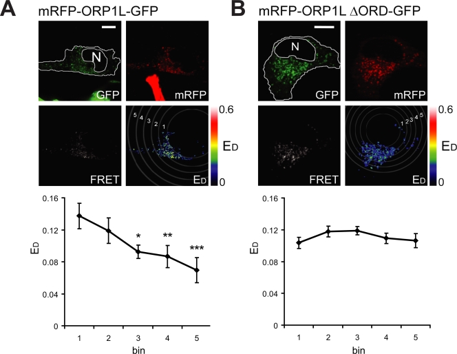 ORP1L conformation and LE positioning. (A and B, top) Mel JuSo cells expressing mRFP-ORP1L-GFP (A) or mRFP-ΔORD-GFP (B) were imaged for FRET by CLSM. The GFP image, mRFP image, calculated FRET, and donor FRET efficiency E D images are indicated. E D values are shown in false colors (the LUT shows the corresponding values). The position of the nucleus (N) and cell boundaries are drawn in the GFP channel. The cytosol is divided by five concentric rings, as indicated in the E D panel. (bottom) E D values for the constructs were collected and binned for the different rings. Values are shown for the different rings under the corresponding image. Mean ± SEM of E D values collected for > 10 cells analyzed per construct are shown. The asterisks indicate a statistically significant difference in E D of that bin compared to bin 1 (the most internal ring; *, P = 0.024; **, P = 0.026; ***, P = 0.0063). Bars, 10 µm.