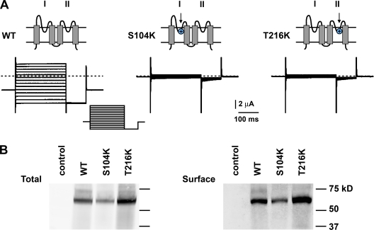Lysine in P1 or P2 disrupts ΔK 2P Ø channel function but not surface expression. Wild-type (WT), S104K, or T216K ΔK 2P Ø channels were studied by expression in Xenopus oocytes. (A) Sample recordings by two-electrode voltage clamp. The bath solution contained 100 mM KCl (see Materials and methods). Topology insets: blue circles denote S104K in P1 or T216K in P2. Protocol inset: holding voltage of −77 mV with 250-ms steps of 15 mV from −135 to 60 mV followed by a 100-ms step to −135 mV every 2 s. (B) Western blot analyses of channels bearing C-terminal 1D4 tags detected with anti-1D4 antibodies. Channel protein was detected among total soluble protein (left) or surface proteins isolated by biotinylation and purification with streptavidin beads (right) after SDS-PAGE (see Materials and methods). Control samples were obtained from naive oocytes. Note that monomer subunits show an anomalous apparent mass of 62 (predicted mass of 37 kD) and 56 kD after deglycosylation with peptide– N -glycosidase F (not depicted); two linked subunits migrate at 97 and 89 kD after peptide– N -glycosidase F (not depicted).