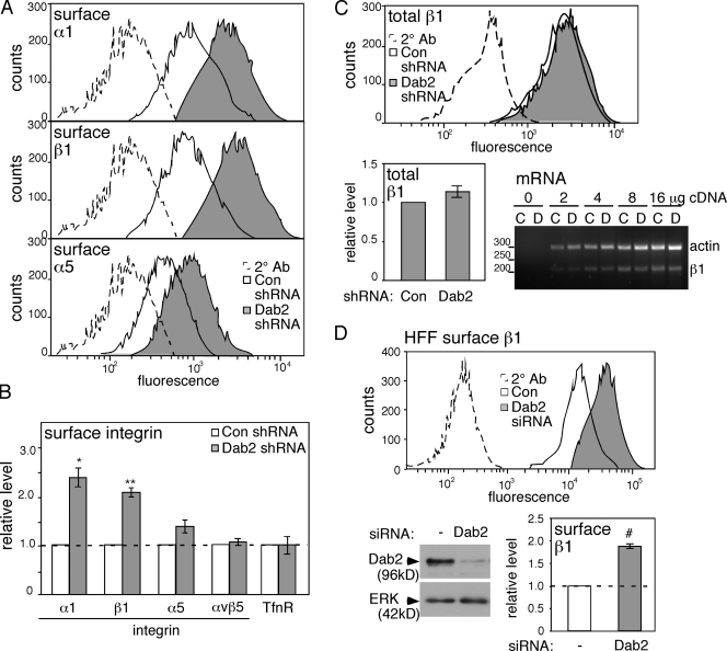 Steady-state surface levels of integrins α1 and β1 but not αv increase in Dab2-deficient cells. (A) Fixed, nonpermeabilized control and Dab2-deficient HeLa cells were analyzed by FACS. (B) Mean and standard error of fluorescent intensity from four independent experiments are shown. (C) FACS analysis of fixed, permeabilized HeLa cells shows that total integrin β1 only increases slightly on Dab2 removal. RT-PCR for integrin β1 and actin mRNA shows equal mRNA levels in control and Dab2-deficient cells. Mean and standard error from five independent experiments are shown. (D) HFFs treated with control or Dab2 siRNA. Western blot showing decreased Dab2 protein and FACS results showing increased surface integrin β1 (mean and standard error of two independent experiments). Data for total integrin β1 level in Dab2-deficient HFFs are shown in Fig. S1 B . (B and D) Dashed lines indicate the control levels. #, P