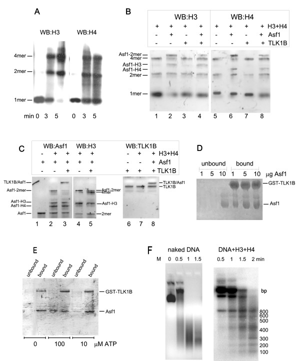 A. Crosslinking of H3–H4 . Histones H3 and H4 were incubated for the indicated minutes and then crosslinked with formaldehyde before separation on a 15% SDS/PAGE. The blot was probed separately with anti-H3 and anti-H4. B. Effect of Asf1 and TLK1B on H3–H4 dimer and tetramer formation. Reactions containing the indicated combinations of H3, H4, Asf1, and TLK1B (all in equivalent amount) were crosslinked as described in Methods and immunoblotted for H4 or H3. C. Western blots for Asf1 and TLK1B. The indicated reactions as in panel B were run in duplicate lanes and immunoblotted for Asf1, H3, or TLK1B (the gel was run for a longer time than in panel B to separate the larger proteins). For antibody controls, lane 1 contained only Asf1, and lane 7 contained only TLK1B. The positions of the cross-linked complexes identified by mobility and immunoreactivity are indicated. D. TLK1B and Asf1 bind each other stoichiometrically. Reactions contained 5 μg of GST-TLK1B and varying amounts of Asf1, as indicated. After 10 min at room temperature, the samples were adsorbed on GSH-Sepharose and analyzed for bound and unbound fractions after separation on a 10% SDS/PAGE, which was stained with Coomassie blue. E. Interaction of TLK1B and Asf1 and the effect of ATP. GST-TLK1B and Asf1 (1 μg each) were incubated for 10 min at room temperature with and without 10 or 100 μM ATP, before analysis by GSH-Sepharose pull-down. The 10% SDS/PAGE gel was stained with Coomassie blue. F. MNase digestion of pBluescript assembled into pseudo-nucleosomes. In the left panel, naked supercoiled plasmid was digested with MNase for the indicated time. In the right panel, the plasmid was first incubated with equimolar H3 and H4 in high salt and then step-dialyzed as described in [ 3 ], before MNase digestion. The DNA was re-extracted from the reactions with Geneclean and run on a 1.5% agarose/TAE gel. The resulting ~120 bp ladder (a bit shorter than the repetitive 146 bp of nucleosomal DNA) is indicative of 