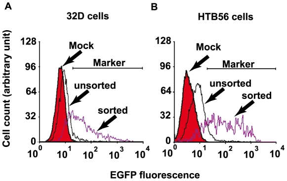 The EGFP is an effective selection marker for FACS. (A) 32D cells were mock transfected or transfected with I- Sce I-linearized BAC E11-IGR-β-catenin-ERα DNA by electroporation. The BAC-transfected cells were sorted by FACS 24 hours after transfection and the sorted cells were incubated at 37°C in 5% CO 2 for another 24 hours. The EGFP fluorescence was compared by flow cytometry. In the range of the indicated marker, there are 0.84, 7.97 and 67.76% of EGFP positive cells in mock, unsorted and sorted cell populations respectively. (B) HTB56 cells were mock transfected or transfected with supercoiled BAC E11-IGR-β-catenin-ERα DNA by lipofectamine reagent. The BAC-transfected cells were sorted by FACS 24 hours after transfection and the sorted cells were incubated at 37°C in 5% CO 2 for another 24 hours. Compared by flow cytometry, there are 0.16, 9.80 and 79.05% of EGFP positive cells in mock, unsorted and sorted cell populations respectively in the range of the indicated marker.