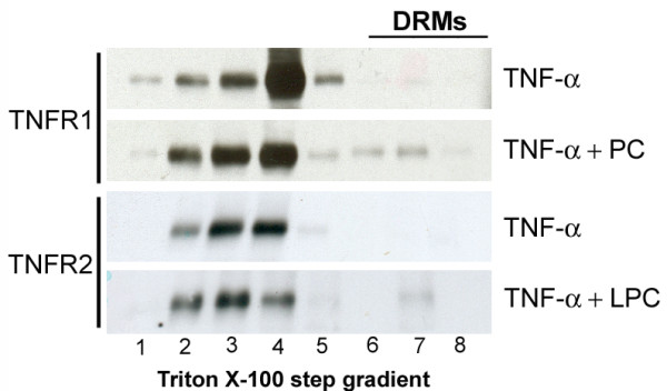 This figure represents the effect of both LPC and PC on the association of <t>TNF-α-R1</t> and TNF-α-R2 to DRMs . COS cells were lysed in 1% Triton X-100 at 4°C 20 h after transient transfection of TNF-α-R1 and TNF-α-R2. After floatation in an OptiPrep step-gradient, TNF-α-R1 and TNF-α-R2 were found in two pools, in DRMs (lane 7–8) and in soluble membranes (lane 1–4). Pre-treatment with 200 μmol LPC or PC resulted in an increased DRM association.