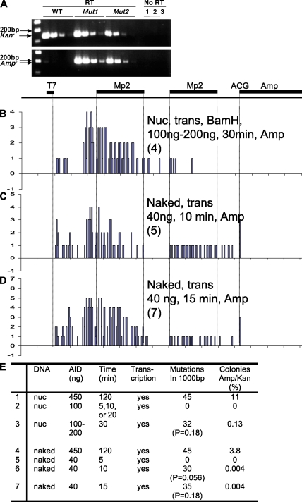 pKMP2 -derived transcripts and mutations of the Amp r gene in plasmids selected in ampicillin. (A) RT-PCR of RNA of E. coli transformed with unmutated (WT) or two mutated (Mut1 and Mut2) pKMP2 plasmids that confer ampicillin resistance ( Fig. 5 F and Fig. 6 , clones 1 and 7). Kan r and Amp r are transcripts of the respective genes in fourfold sequential dilutions. Equal amounts of cDNA were used for the respective Kan r and Amp r reactions. RT-PCR products without reverse transcription with RNA samples corresponded to the highest concentrations of WT ( 1 ), Mut1 ( 2 ), and Mut2 ( 3 ) RNAs, respectively. (B–D) Mutation patterns in pKMP2 after exposure to low amounts of AID for a short time. Treatments of the plasmids are indicated, with numbers of colonies obtained in E. coli selected in ampicillin shown in parenthesis. The y axes represent numbers of mutations. Relative to Fig. 5 , the scales were expanded by factors of 7.25, 4.8, and 6.9 for B, C, and D, respectively, for easier comparison with the data in Fig. 5 F (for B) and Fig. 5 D (for C and D), where larger numbers of colonies were obtained. The sequences are shown in Figs. S9–S11 . (E) AID acts processively/cooperatively. Selection of AID-treated plasmids in ampicillin. 2: no ampicillin resistance was seen with nucleosomal DNA and 5, 10, or 20 min of exposure to AID, T7 RNA polymerase, and BamHI. 5: no ampicillin resistance was seen with naked DNA and 5 min of exposure to AID and T7 RNA polymerase. The size markers are 100, 200, and 300 bp. The experiments were done four (E4), three (E1 and 2), two (A, C, D, and E5-7), and one (B and E3) times with similar results.