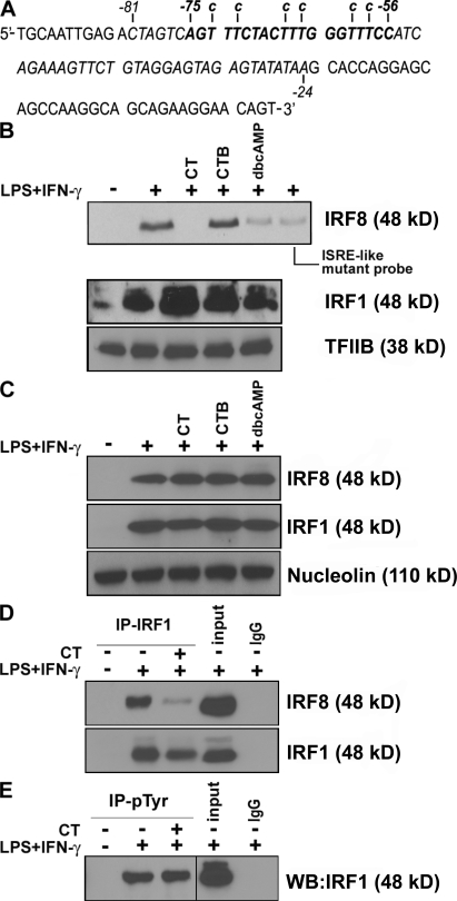 CT and dbcAMP reduce IRF8 binding to the ISRE-like region of the mouse IL-12p40 promoter and prevent IRF1–IRF8 heterocomplex formation. (A) Schematic representation of the −92 to +12 region of the mouse IL-12p40 promoter. The ISRE-like sequence is represented in bold. (B) CT and dbcAMP, but not CTB, inhibited IRF8, but not IRF1 or TFIIB, interaction with the mouse IL-12p40 promoter. A biotinylated DNA probe corresponding to the −81 to −24 region of the mouse IL-12p40 promoter encompassing the ISRE-like sequence, and a biotinylated mutant probe containing substitution (indicated by the lower case letters) in the context of the ISRE-like element were conjugated with streptavidin-bound magnetic beads and incubated with 500 µg of nuclear extracts from RAW 264.7 cells stimulated for 4 h as indicated. CT, CTB (both at 20 ng/ml), and dbcAMP (100 µM) were added 1 h before addition of LPS (1 µg/ml) and IFN-γ (100 ng/ml). Bound material was eluted, separated by 10% SDS-PAGE, and detected by Western blot analysis using rabbit anti-IRF8 antibody. (C) CT or dbcAMP did not modify the total amount of IRF8 or IRF1 in the nucleus. 500 µg of nuclear extracts were analyzed to measure the presence of IRF8 or IRF1 by SDS-PAGE Western blot. Membranes were stripped and reblotted to verify equal protein loading using an antinucleolin antibody. (D) CT reduces IRF1–IRF8 heterocomplex formation induced by LPS and IFN-γ. 1 mg of nuclear extract was immunoprecipitated with anti-IRF1 antibody and analyzed by Western blot for the presence of IRF8 or IRF1. (E) Tyrosine phosphorylation of IRF1 is not affected by CT. 1 mg of nuclear extracts was immunoprecipitated with antiphosphotyrosine antibody and analyzed by Western blot for the presence of IRF1. Data shown are representative of at least three experiments.