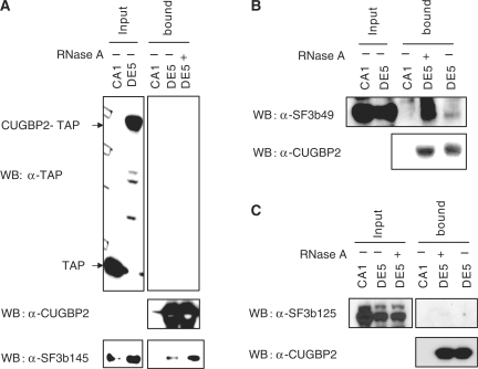 CUGBP2 binds to SF3b145 (SF3B2) and SF3b49 (SF3B4) but not SF3b125. Nuclear extracts were prepared from HeLa cells stably expressing CUGBP2-TAP (DE5) or TAP alone (CA1) as a control. Affinity purification using IgG sepharose with or without RNase A treatment was performed. Proteins bound to IgG Sepharose were released by TEV cleavage and precipitated by TCA and labeled as bound fractions. Western blots were performed using anti-SF3b145 ( A ), SF3b49 ( B ) and SF3b125 ( C ). For inputs, 10% of the total was loaded.