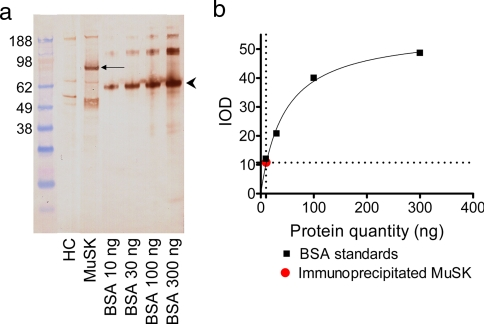Estimation of quantity of immunoprecipitated MuSK. a , the 90-kDa protein immunoprecipitated ( arrow ) after incubation of TE671 cells with a MuSK-MG plasma was stained with HRP-conjugated streptavidin along with known quantities of biotinylated BSA stained by HRP-conjugated streptavidin that run at 67 kDa ( arrowhead ). b , the quantity of immunoprecipitated MuSK was estimated by comparison of the integrated optical density of the 90-kDa band with that of the 67-kDa band. HC , healthy control; IOD , integrated optical density.