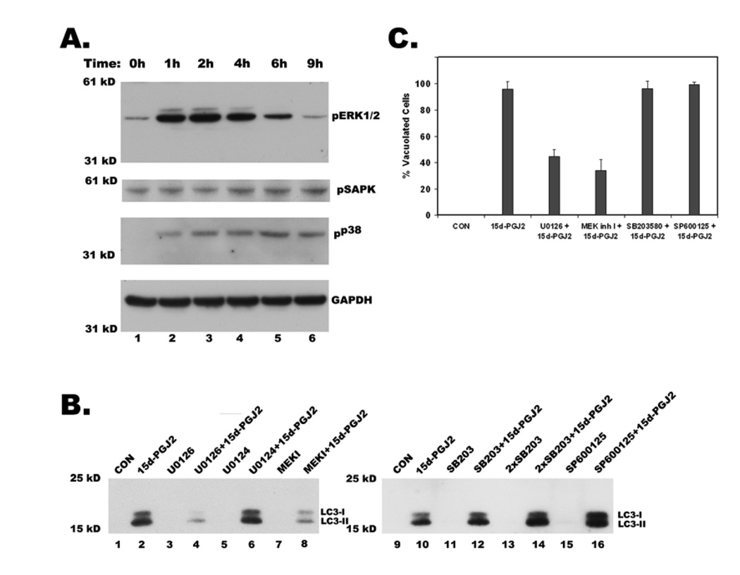 Regulation of 15d-PGJ2 induced cytoplasmic vacuolation, LC3 expression and processing by MAP kinases A. Western blot of total cell lysates showing activation of MAP kinases ERK, p38 and JNK (SAPK) upon treatment with 20µM 15d-PGJ2 at indicated times in hours. Activation of MAP kinases was shown by immunoblotting with their phospho-specific antibodies. B. Effect of U0126 (20 µM), and MEK inhibitor I (MEK I, 5 µM), specific inhibitors of ERK pathway, U0124 (20 µM), an inactive analog of U0126, SB203580 (SB203) at 10 µM and 20 µM (2X), inhibitor of P38 MAP kinase and SP600125 (20 µM), JNK pathway inhibitor on 15d-PGJ2 induced expression and processing of LC3. After 1h of preincubation with the above inhibitors, cells were treated with 15d-PGJ2 for 9h and then were probed for LC3 by western blotting of total cell lysates. C. Effect of MAP kinase inhibitors on 15d-PGJ2 induced cytoplasmic vacuolation. Cells were treated as described above, phase contrast images were obtained from different fields and number of vacuolated cells was counted in at least 100 cells for each condition and data represents an average of three independent experiments.