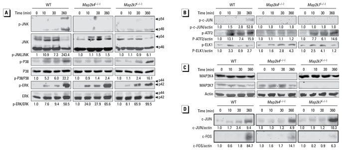 High-concentration Cr(VI) induces MAPK activation in WT, Map2k4 (−/−) , and Map2k7 (−/−) mouse ES cells. WT, Map2k4 (−/−) , and Map2k7 (−/−) cells were treated with 50 μM Cr(VI) for various times as indicated. Cell lysates were subjected to Western blot analysis for ( A ) phospho-JNK and total JNK, p38, and ERK; ( B ) phospho-c-JUN, ELK1, and ATF2; ( C ) total MAP2K4, MAP2K7, and actin; and ( D ) total c-JUN and c-FOS. Arrowheads point to specific MAPK isoforms. The ratio of phosphoprotein versus total protein or actin was calculated in each sample and the fold induction was calculated in comparison with the untreated control of the same cell type. Images shown in this figure are representative of at least two independent results.