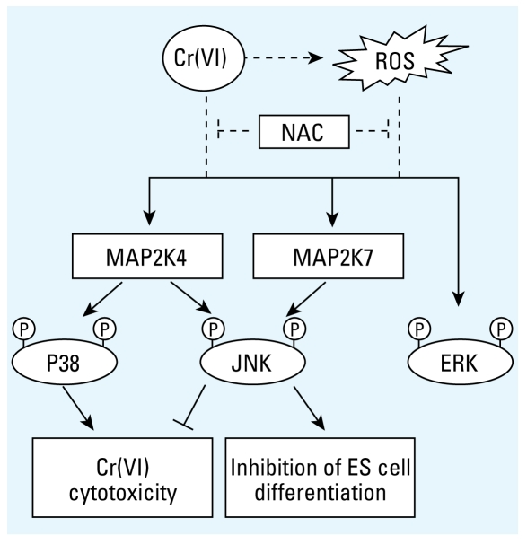 Distinct contributions of JNK and p38 to Cr(VI) toxicity. Cr(VI) induced the activation of the MAPKs via multiple mechanisms that can be ROS dependent and independent. The activation of JNK and p38, but not ERK, is mediated through MAP2K4 and MAP2K7. Specifically, MAP2K4 and MAP2K7 both are required for optimal JNK activation, but only MAP2K4 is essential for p38 activation. Using cells deficient in MAP2K4 and MAP2K7, we were able to delineate the distinct roles JNK and p38 play in the cytotoxicity and developmental toxicity of chromium.