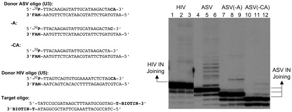 Joining activity confirmed with gel electrophoresis . Left, sequences of the donor oligodeoxynucleotides used in the joining assay. The location of carboxyfluorescein (FAM), 5' radioactive 32 P, and 3' biotin are shown. The -A substrate removes only the A of the conserved CA dinucleotide while the -CA substrate removes both residues. Right, lanes 1 through 3 show HIV-1 IN joining activity on its substrate after 0, 60, 120 min of incubation, respectively. Lanes 4 through 6, 7 through 9, and 10 through 12, show ASV IN joining activity after 0, 15, 30 min of incubation.