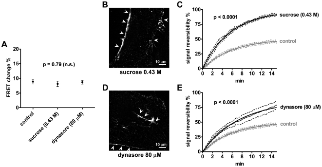 Effect of endocytosis inhibition on cAMP signaling. Cells were prestimulated with 0.43 M sucrose for 10 min, 80 µM dynasore for 20 min, or normal medium as control. (A) Comparison of FRET changes induced by stimulating thyroid follicles obtained from CAG-Epac1-camps mice with TSH (30 U/l for 2 min, as in Figure 5C ) in the presence or absence (control) of endocytosis inhibitors (n = 6–8 per each condition). Error bars indicate SEM. (B) Confocal image of a primary mouse thyroid cell stimulated with TSH-Alexa594 (3 µg/ml for 20 min) in the presence of 0.43 M sucrose. Note the binding of TSH-Alexa594 to the plasma membrane (arrowheads) and the almost complete inhibition of TSH-Alexa594 internalization (no intracellular vesicles). For comparison, see Figure 8 (20 min). (C) Comparison of cAMP signal reversibility after TSH stimulation (30 U/l for 2 min) in the presence or absence (control) of 0.43 M sucrose (n = 6, each). (D) Confocal image of a primary mouse thyroid cell stimulated with TSH-Alexa594 (3 µg/ml for 20 min) in the presence of 80 µM dynasore, showing consistent inhibition of TSH-Alexa594 internalization. Arrowheads, TSH-Alexa594 bound to the plasma membrane. (E) Comparison of cAMP signal reversibility after TSH stimulation (30 U/l for 2 min) in the presence or absence (control) of 80 µM dynasore (n = 6, control; n = 8, dynasore). Signal reversibility in (C) and (E) is calculated as in Figure 5F . Fits were compared with F test, having a null hypothesis that Y max values were the same for all datasets. Images in (B) and (D) are representative of more than 20 cells per condition analyzed in three independent experiments.