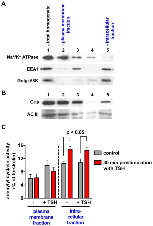 Cell fractionation experiments. The plasma membrane and the intracellular fractions of FRTL5 cells were obtained by separation with concanavalin A-coated magnetic beads. (A) Western blot analysis of subcellular markers in the obtained fractions. The following markers were used: Na + /K + ATPase for the plasma membrane, the early endosome antigen 1 (EEA1) for early endosomes, and Golgi 58K for the Golgi complex. 1, total homogenate. 2, first eluate from the magnetic beads, corresponding to the plasma membrane fraction. 3, postnuclear supernatant. 4, second eluate from the magnetic beads. 5, intracellular fraction. (B) Western blot for Gα s and adenylyl cyclase III (AC III) in the same fractions as in (A). (C) Effect of TSH stimulation on adenylyl cyclase activity in the subcellular fractions. FRTL5 cells were starved for 24 h in medium without TSH and either stimulated with 30 U/l TSH for 30 min or mock stimulated (control), followed by cell fractionation with concanavalin A-coated magnetic beads. The adenylyl cyclase activity in the plasma membrane and intracellular fractions was then determined in the absence of stimuli (−) or in the presence of either 30 U/l TSH (+TSH) or 10 µM forskolin. The results were normalized for the maximal adenylyl cyclase activity measured in the presence of forskolin. Shown are the data from three independent experiments. Error bars indicate SEM.