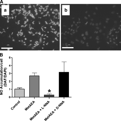 Endocannabinoid-stimulated NO accumulation antagonized by a NOS inhibitor. a N18TG2 cells were treated with a methanandamide (MetAEA) alone (1 μM) or b following pretreatment with NOS inhibitor N G -nitro- l -arginine ( l- NNA ; 1 μM; bar = 100 μm). b Quantitation of effects of NOS inhibitor l- NNA and its inactive enantiomer N G -nitro- d -arginine ( d -NNA ; 1 μM) on methanandamide-stimulated NO accumulation in N18TG2 cells. Data are presented as the DAF/DAPI fluorescence intensity ratio (mean ± SEM from N = 3 independent experiments). Values significantly different from those of MetAEA-stimulated cells (* p