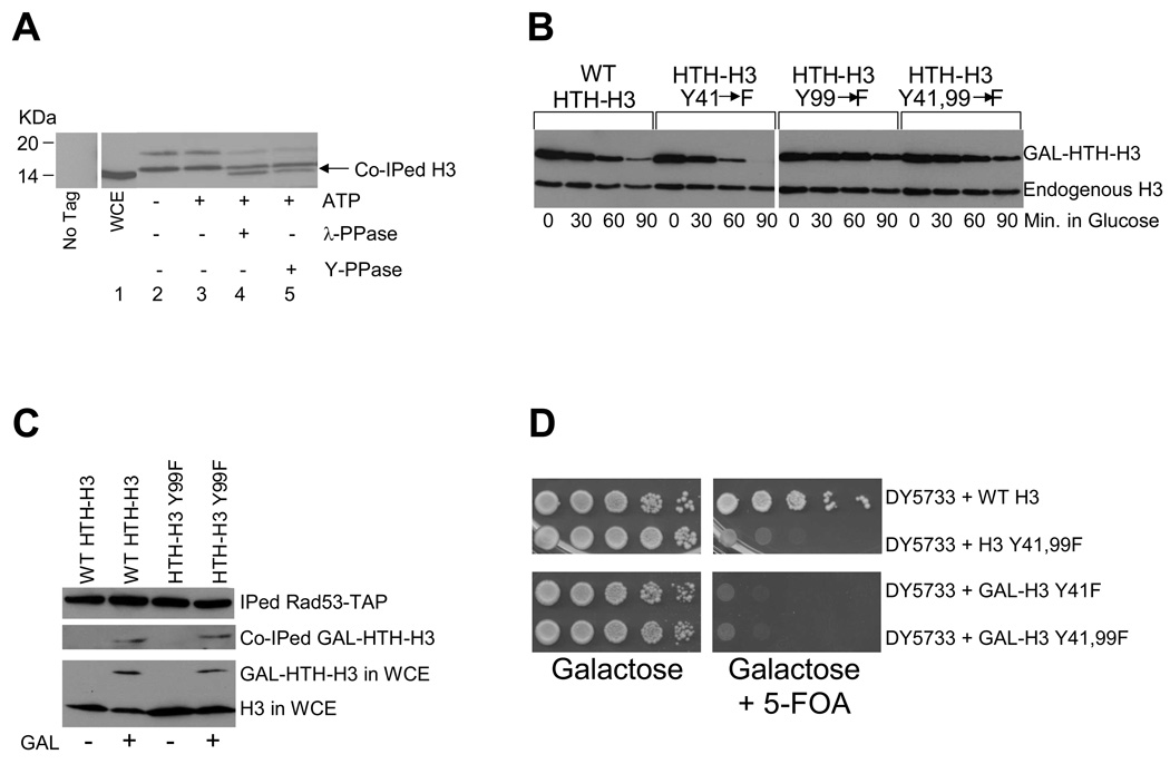"""Histones associated with Rad53 are phosphorylated and this modification is required for efficient histone degradation (A) Histone H3 associated with Rad53 is phosphorylated. TAP-tagged Rad53 was immunoprecipitated using IgG-Sepharose beads as described in the Methods section. Rad53-TAP bound to beads was first equilibrated with lysis buffer lacking phosphatase inhibitors and then incubated with or without 1mM ATP for 1hour at 30°C, following which the ATP treated sample was divided into three equal aliquots. One aliquot was left untreated; the second was incubated with λ-phosphatase (λ-PPase), while the third was treated with YOP tyrosine specific phosphatase (Y-PPase) for an additional hour at 30°C. All samples were boiled in SDS-PAGE sample loading buffer and proteins were resolved through a SDS 4–12% polyacrylamide gradient gel, which was processed for Western blotting with the H3-C antibody 9 . The migration of histone H3 present in whole cell extract (WCE) is indicated by the arrow. The lane labeled """"No Tag"""" shows a mock immunoprecipitation with IgG-Sepharose performed on a strain where Rad53 was untagged. (B) Mutation of the tyrosine 99 phosphorylation site in histone H3 abolishes its degradation. Site-directed mutagenesis was used to mutate both the potential tyrosine (Y) phosphorylation sites in the H3 protein at positions 41 and 99 to phenylalanines (F), either individually (Y41F and Y99F), or in combination (Y41,99F). Histone degradation assays were carried out as described in the Methods section in wild type W303 cells bearing HTH-tagged wild type (WT) or mutant histone H3 plasmids. (C) Mutation of the tyrosine 99 phosphorylation site on H3 does not preclude the recognition of this histone by Rad53. After a 2 hour galactose (GAL) induction of HTH-tagged wild-type and mutant H3 in asynchronous cells carrying the RAD53-TAP allele, WCE were prepared. Rad53-TAP was immunoprecipitated (IPed) from the WCEs and the co-immunoprecipitated (co-IPed) HTH tagged H3 w"""