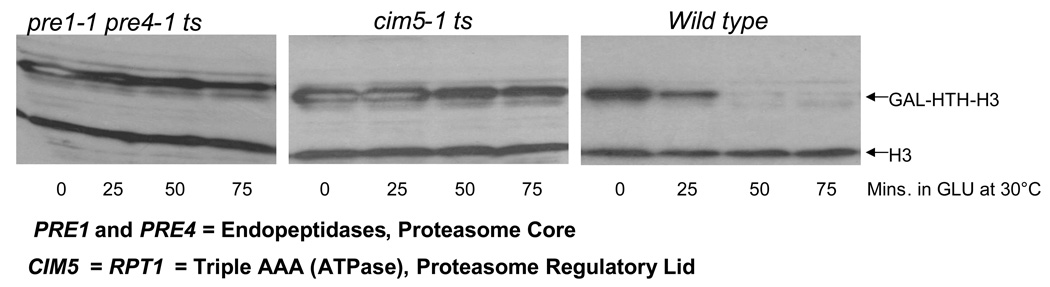Functional proteasomes are required for the degradation of excess histones Wild type and temperature sensitive ( ts ) proteasomal mutants carrying the pYES2-HTH- HHT2 plasmid 9 encoding galactose inducible, HIS10-TEV-HA (HTH) tagged histone H3 were used to carry out histone degradation assay essentially as described in Methods, with minor changes. The assay was carried out at the semi-permissive temperature of 30°C for the ts strains and cells were harvested every 25 minutes after switching to glucose. The levels of HTH-tagged H3 and chromosomal histone H3 were quantitated by Western blotting using the H3-C antibody 9 .