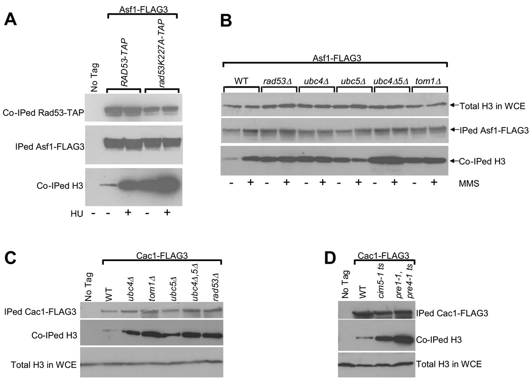 """Yeast cells lacking the factors involved in histone degradation accumulate excess endogenous histones bound to histone chaperones Asf1 and Cac1 (A) Endogenous histone H3 accumulates on Asf1 in a rad53 """"kinase dead"""" mutant 38 . Asynchronous cultures of the indicated strains carrying a FLAG3 epitope on the endogenous ASF1 gene were either left untreated, or treated with the DNA replication inhibitor hydroxyurea (HU) for 90 minutes. Cells were then harvested, WCEs prepared and Asf1-FLAG3 was immunoprecipitated (IPed) as described in Methods. The indicated IPed and co-immunoprecipitated (Co-IPed) proteins were detected by Western blotting. Note that although equal amounts of Asf1-FLAG3 were IPed in all the samples, the amount of co-IPed mutant rad53K227A-TAP protein was lower compared to the wild type Rad53-TAP due to the lower stability of the mutant protein. (B) Deletion of the ubc4 , ubc5 and tom1 genes results in an accumulation of excess endogenous histone H3 bound to Asf1. Asynchronous cultures of strains expressing the histone chaperone Asf1-FLAG3 were either left untreated or treated with the DNA alkylating agent methyl methane sulfonate (MMS, 0.033%) for 90 minutes and processed exactly as described above in (A). Total histone H3 levels in the WCEs are shown to demonstrate that roughly equal amounts of extracts were used for each immunoprecipitation reaction. (C) Excess histone H3 accumulates on histone chaperone Cac1 upon the deletion of the ubc4 , ubc5 and tom1 genes. The indicated strains carrying a FLAG3 epitope on the endogenous gene encoding Cac1 were harvested and processed as described above in (A) except that no treatment with genotoxic agents such as HU or MMS were carried out. (D) Disruption of the proteasome function results in an accumulation of excess endogenous histone H3 bound to Cac1. Asynchronous cultures of the indicated temperature sensitive ( ts ) proteasome mutant strains expressing the histone chaperone Cac1-FLAG3 were grown overnight at """