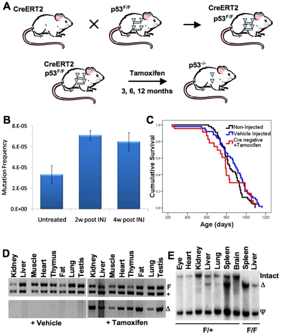 CreERT2-p53 F/F and CreERT2 +/F mice display efficient p53 allele excision in many tissues after tamoxifen treatment. (A) Experimental design to generate mice that can inducibly and somatically delete p53 in many tissues. Floxed p53 alleles are represented by triangle flanked bars. Cre-excised p53 alleles are indicated by solo triangles. (B) Tamoxifen treatment of wildtype mice moderately elevates liver DNA mutation frequency. Three month C57BL/6 Big Blue Mice designed to measure mutation frequencies were treated with tamoxifen (five 1 mg daily injections) and sacrificed at 2 or 4 weeks post-injection and liver DNA subjected to the mutation frequency assay as described in the methods . Mutation frequencies are shown with or without tamoxifen injection (n = 3 for each time point, ±standard error of the mean). (C) Tamoxifen injection of mice has little or no effect on survival compared to vehicle-injected wildtype mice. Tamoxifen injection of CreERT2 negative p53 F/F and p53 +/F mice (red curve, n = 23) showed similar Kaplan-Meier survival curves as wildtype uninjected mice (black curve, n = 55) and vehicle injected CreERT2-p53 +/F mice (blue curve, n = 50). (D) PCR assays show that vehicle-injected CreERT2-p53 +/F tissues exhibit no p53 allele excision, while all tamoxifen-injected CreERT2-p53 +/F tissues show evidence of p53 allele excision. Upper panels show genotyping PCR where the upper band (F) is the larger non-excised floxed allele of p53 and the lower band (+) is the non-floxed wild type p53 allele from various CreERT2-p53 +/F tissues. The lower panels show PCR fragments specific for the excised p53 allele (Δ). The left set of panels contain results from vehicle (corn oil) treated tissues while the right set of panels contain PCR results from tamoxifen treated tissues. Note that in the absence of tamoxifen there is no background p53 allele excision and that in the presence of tamoxifen all tissues show evidence of p53 allele excision. (E) Tamoxifen treatment 