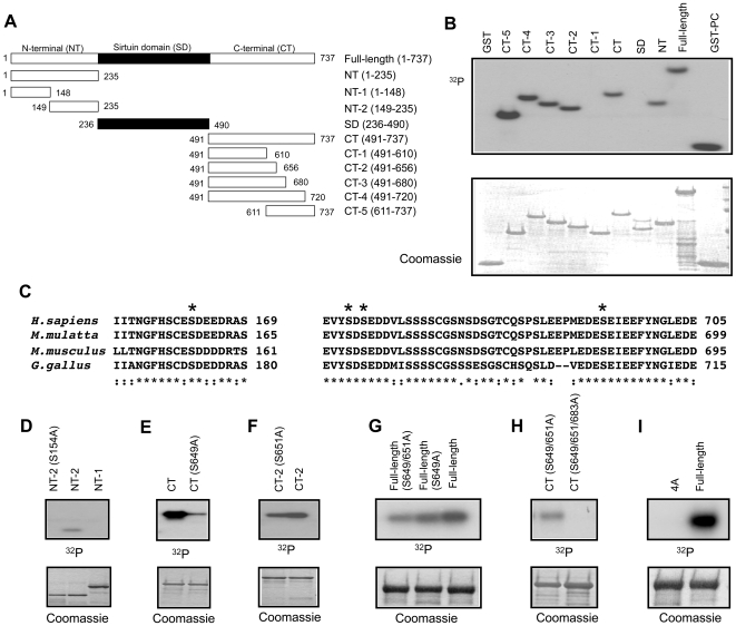 Identification of CK2 phosphorylation sites in mouse SIRT1. (A) Diagram of recombinant mouse SIRT1 fragments produced in E.coli. The a.a. number of the first and last a. a. for each fragment is as indicated. (B) SIRT1 fragments from (A) were incubated with CK2 α and 32 P[γ-ATP], subjected to SDS-PAGE, Coomassie staining and autoradiography. GST-PC, which contains the optimized CK2 phosphorylation site, was used as a positive control. (C) Evolutionarily conserved CK2 consensus sites located in the fragments phosphorylated by CK2 are marked (*). (D–H) Indicated Ser (S) residues in SIRT1 fragments (see Fig. 2A ) were mutated to Ala (A) individually or in combination. Fragments containing the mutation were incubated with CK2 α and 32 P[γ-ATP] and then subjected to SDS-PAGE, Coomassie staining and autoradiography. (I) CK2-dependent phosphorylation of full-length (FL) and S154/649/651/683A (4A) mutant SIRT1 in vitro . CK2 phosphorylation was performed and visualized as in (B).