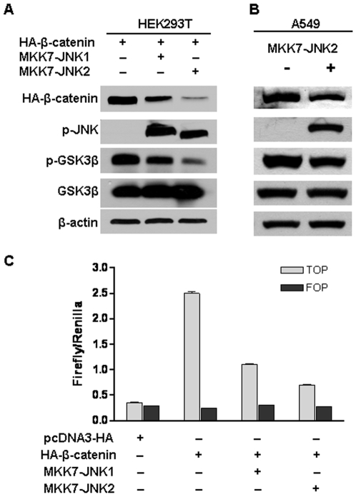 Active JNK2 downregulated β-catenin expression, inhibited its transcriptional activity and reduced GSK3β phosphorylation. (A) Active JNK2 suppressed β-catenin expression and GSK3β phosphorylation in HEK293T cells. HEK293T cells were transfected with pcDNA3-HA-β-catenin together with pcDNA3-Flag-MKK7-JNK1 or pcDNA3-Flag-MKK7-JNK2. Forty-eight hours after transfection, cells were harvested for immunoblotting analysis to detect the alterations of HA-β-catenin, p-JNK, p-c-Jun, phospho-Ser 9 GSK3β, and GSK3β. β-actin served as loading control. (B) Active JNK2 reduced GSK3β phosphorylation and downregulated β-catenin expression in human lung cancer cell line A549. A549 cells were co-transfected with pcDNA3-HA-β-catenin and pcDNA3-Flag-MKK7-JNK2. Forty-eight hours after transfection, cells were harvested for immunoblotting analysis to detect the alterations of β-catenin, p-JNK, and phospho-Ser 9 GSK3β. β-actin served as loading control. (C) Active JNK inhibited β-catenin-mediated transcriptional activity of TCF. HEK293T cells were co-transfected with pcDNA3-Flag-MKK7-JNK1 or pcDNA3-Flag-MKK7-JNK2, pcDNA3-HA-β-catenin, TOPFLASH (TOP) or FOPFLASH (FOP), and Renilla. 48 h after transfection, cells were harvested for luciferase activity assay. Each bar represents the mean ± standard deviation (SD) for triplicated samples.