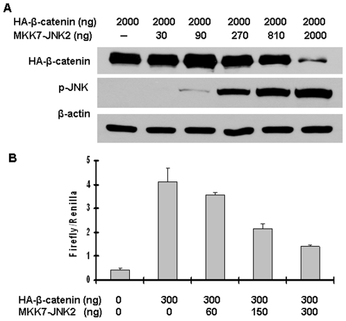 Active JNK2 downregulated β-catenin expression and inhibited its transcriptional activity in a dose-dependent manner. (A) Activated JNK2 reduced β-catenin protein level in a dose-dependent manner. HEK293T cells were co-transfected with pcDNA3-HA-β-catenin along with different amounts of pcDNA3-Flag-MKK7-JNK2, as indicated. Forty-eight hours after transfection, cells were harvested for immunoblotting analysis to detect the alterations of HA-β-catenin and p-JNK. β-actin served as loading control. (B) Activated JNK2 inhibited β-catenin-mediated transcriptional activity of TCF in a dose-dependent manner. HEK293T cells were co-transfected with pcDNA3-HA-β-catenin, TOPFLASH, Renilla, along with different amounts of pcDNA3-Flag-MKK7-JNK2, as indicated. Forty-eight hours after transfection, cells were harvested for luciferase activity assay. Each bar represents the mean ± standard deviation (SD) for triplicated samples.