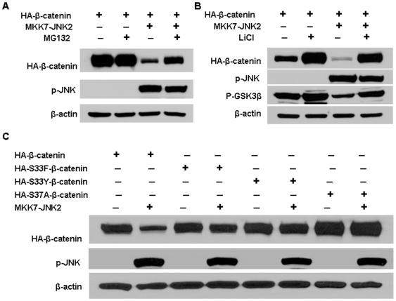 Active JNK2-mediated β-catenin degradation occurred through the proteasome system and GSK3β. (A) HEK293T cells were co-transfected with pcDNA3-HA-β-catenin and pcDNA3-Flag-MKK7-JNK2 (lane 3 and 4) or empty vector (lane 1 and 2). Forty-four hours after transfection, 25 µM MG132 was added to the indicated samples (lane 2 and 4). Four hours later cells were harvested for immunoblotting analysis to detect the expression of HA-β-catenin and p-JNK. (B) Blocking GSK3β activity by LiCl reduced β-catenin expression inhibition by activated JNK2. pcDNA3-HA-β-catenin was transfected into HEK293T cells along with pcDNA3-Flag-MKK7-JNK2 (lane 3 and 4) or empty vector (lane 1 and 2). Thirty-six hours after transfection, half of the cultures were treated overnight with 30 mM LiCl (lane 2 and 4) and then harvested for immunoblotting analysis to detect the expression of HA-β-catenin, phospho-Ser-9 GSK3β, and p-JNK. (C) Mutant β-catenin was resistant to activated JNK2 induced degradation. Wild-type β-catenin (HA- β-catenin) (lanes 1 and 2) or various β-catenin mutants (HA-S33F β-catenin, lanes 3 and 4; HA-S33Y β-catenin, lanes 5 and 6; HA-S37A β-catenin, lanes 7 and 8) were transfected into HEK293T cells along with pcDNA3-Flag-MKK7-JNK2 (lane 2,4,6,8) or empty vector (lanes 1,3,5,7). 48 hours after transfection, cells were harvested for immunoblotting analysis to determine the protein levels of HA-β-catenin. β-actin served as loading control.