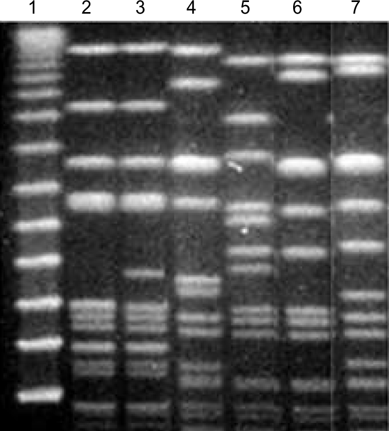 Representative PFGE patterns of Sma I macrorestriction fragments of genomic DNA of MRSA strains with low-level mupirocin resistance isolated from patients in ICUs. Lane 1, λ ladder marker; lane 2 to lane 7 show PFGE patterns A0, A1, B, C, D, and E, respectively.