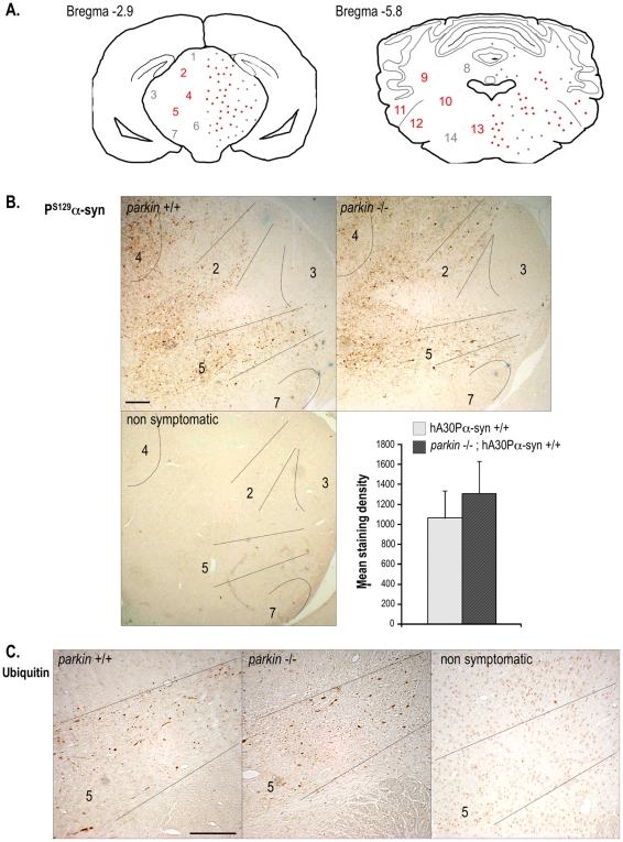 Distribution of P S129 -α-synuclein- and ubiquitin-immunolabelling in symptomatic hA30Pα-syn mice. (A) Schematic illustration of the distribution and density of P S129 -α-synuclein deposits on representative brain coronal sections of symptomatic mice. Similar distributions were observed in hA30Pα-syn mice with or without Parkin. Regions immunolabelled in most animals are indicated in red, whereas those less frequently stained are in grey. (B) Representative micrographs illustrating P S129 -α-synuclein-immunolabelling in the brainstem (bregma −2.9) of symptomatic hA30Pα-syn mice with and without Parkin, and in a healthy hA30Pα-syn control mouse. Quantitative analysis of the density of P S129 -α-synuclein-labelling in a representative region of the brainstem of symptomatic mice (n = 5 per genotype). (C) Representative micrographs illustrating typical ubiquitin-immunoreactivity in the presence or absence of Parkin in the brainstem of symptomatic mice, and of a healthy hA30Pα-syn control mouse. 1- superior colliculus , 2- pretectal nuclei, 3- geniculate nuclei, 4- periaqueductal grey layer, 5- zona incerta , 6- ventral tegmental area, 7- SN pars reticulata , 8- cerebellar white layer, 9- lateral cerebellar nuclei, 10- vestibular nuclei, 11- cochlear nuclei 12- trigeminal nuclei, 13- pontine reticular nuclei, 14- parvicellular reticular nuclei. Scale bars indicate 200 µm.