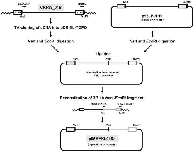 Outline for constructing a replication-competent DNA clone of HIV-1 CRF33_01B (p05MYKL045.1). Near full-length proviral DNA of CRF33_01B was amplified by long-range PCR using pbsA- Nar I and 9KU5B primers and TA-cloned into a pCR-XL-TOPO vector. DNA clone containing CRF33_01B genome and p93JP-NH1, an infectious clone of CRF01_AE origin [13] , were linearized by Nar I and Eco RI. The Nar I- Eco RI fragment from the respective CRF33_01B proviral DNA was directionally ligated with the pBR-SK2 vector that contains the p93JP-NH1 5′ long terminal repeat (LTR) to reconstitute a chimeric full-length construct. Each clone was purified and transformed into HeLa cells to determine proviral replication. Constructs producing non-replicating viruses were then rescued by reconstituting a 3.7 kb proviral fragment (with Nco I and Eco RI sites) that includes the functional env gene to recover an infectious CRF33_01B clone, designated as p05MYKL045.1. Restriction enzyme sites in the DNA and the p93JP-NH1-derived 5′ LTR region in p05MYKL045.1 (shaded) are indicated. Refer text for complete descriptions.