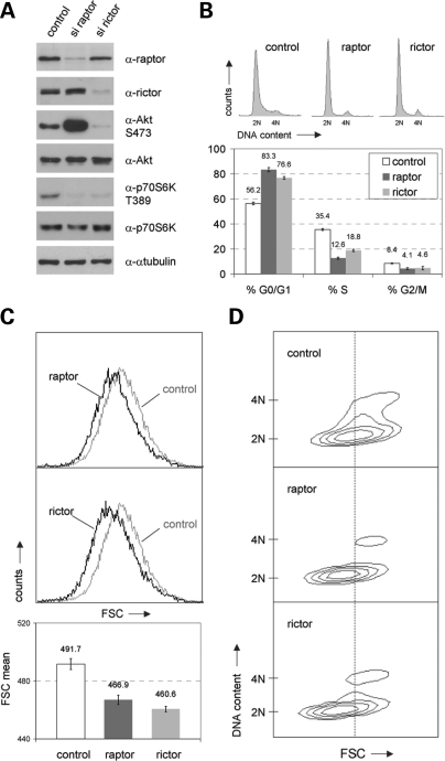 mTORC2 regulates mammalian cell size and cell cycle progression. Logarithmically growing IMR-90 fibroblasts were transfected with short-interfering RNAs (siRNAs) targeting human raptor and rictor, respectively. Cells treated with non-targeting siRNA were analysed in parallel and served as a negative control (control). Forty-eight hours after transfection, cells were replated at low density and were grown for another 20 h. ( A ) Cells as described above were lysed and examined for the expression level of raptor, rictor, S473 phosphorylated Akt, total Akt, T389 phosphorylated p70S6K and total p70S6K. α-Tubulin was co-analysed as an additional loading control. ( B ) Cells derived from the same pool of cells described in (A) were cytofluorometrically analysed for DNA distribution. Representative DNA profiles (upper panel) and the percentage of cells in G0/G1, S and G2/M (lower panel) are presented. Apart from the quantification of DNA distribution, cells were cytofluorometrically examined for overall cell size via FSC analyses ( C ) and for cell size according to different cell cycle phases via two-dimensional blots of FSC versus DNA content ( D ).