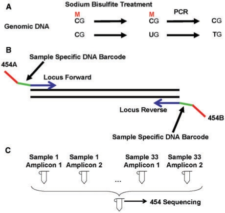 Experimental design for deep bisulfite sequencing in individual samples. ( A ) Detection of DNA methylation by sodium bisulfite treatment and PCR. ( B ) PCR amplification with sample specific DNA barcodes. ( C ) Pool PCR products for 454 sequencing.