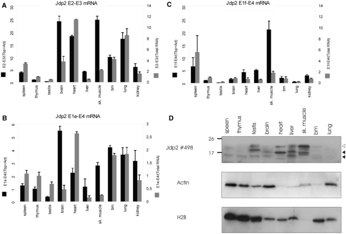 Jdp2 isoforms are differentially expressed in the normal tissue. ( A – C ) QRT-PCR was done in triplicates as described for Figure 5 on the indicated BALB/c mouse tissues to detect full length (A), exon 1e-3-4 (B) and exon 1f-3-4 (C) mRNA. Expression signal is shown as normalized to the geometric mean of Actb and Tbp (black bars) or normalized to total RNA (white bars) and is shown as fold difference to thymus. The figures are representative of two–three experiments. ( D ) Western blotting on 0.2 μM PVDF membranes using polyclonal anti-Jdp2 and, subsequently, anti-β-Actin and anti-H2B antibody on crude protein extracts from the same panel of BALB/c tissue. Open and closed arrows indicate the position of full length and isoform Jdp2.