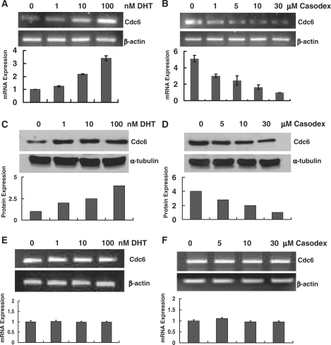 Cdc6 expression in androgen-sensitive prostate cancer cells is modulated in an androgen- and antiandrogen-dependent manner. ( A and C ) LNCaP cells were androgen-starved for 72 h and then treated with different concentrations of DHT 8 h. ( B and D ) Androgen-starved LNCaP cells were first cultured in <t>CDS–FBS</t> media with 10 nM R1881 for 24 h to elevate basal Cdc6 expression, and then were treated with different concentrations of Casodex for 8 h. Total RNA was analyzed by RT–PCR using primers specific for Cdc6 and β-actin (A and B). Bar graph represents results as the mean ± S.E. of triplicate reactions. Twenty-five micrograms of whole cell extract was probed by immunoblot with anti-Cdc6 and anti-tubulin antibodies (C and D). ( E and F ) DU145 cells were androgen-starved for 3 days and then treated with different concentrations of DHT and Casodex for 8 h. Total RNA was analyzed by RT–PCR using primers specific for Cdc6 and β-actin as outlined above.