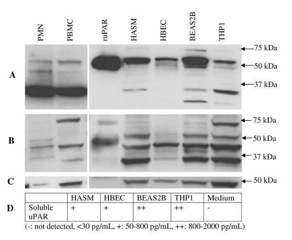 Expression of uPAR protein in different cell types . Western blotting of cell lysates was performed for an extended panel of cell types (HASM, undifferentiated HBEC, BEAS2B, THP1, PMN, PBMC) plus recombinant uPAR (ruPAR) using domain I specific (A) and domain II specific (B) antibodies to identify different variants. A β-actin antibody was used as a loading control (C). An ELISA assay, with a sensitivity of 30 pg/mL, was used to detect soluble uPAR in the culture supernatant where appropriate (D).
