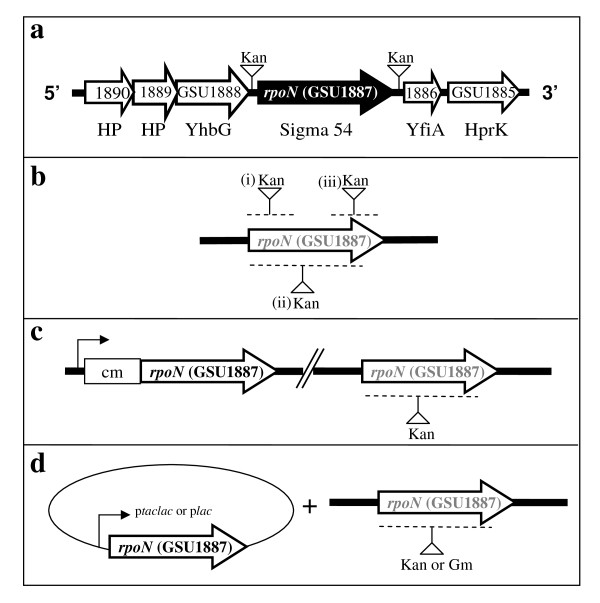 The rpoN gene cluster and the mutation schemes . (a) Genes surrounding rpoN are shown as open arrows. HP: conserved hypothetical protein with unknown function; YhbG: ABC transporter, ATP binding protein; YfiA: ribosomal subunit interface-associated sigma-54 modulation protein; HprK: Hpr(Ser) kinase/phosphorylase. Insertion of a kanamycin resistance cassette upstream or downstream of the intergenic region of the rpoN gene resulted in viable mutants (a). (b) Scheme showing attempts of construction of deletion of (i) the 5'-end, (ii) the whole, or (iii) the 3'-end of the rpoN coding region. (c) An extra copy of the rpoN gene was inserted on the chromosome and was under the control of the chloramphenicol resistance cassette promoter. (d) An extra copy of the rpoN gene was introduced in trans under the control of a lac promoter (constitutively expressed) or a taclac promoter (IPTG-inducible). The position of insertion of the antibiotic resistance cassette (kanamycin, Kan or gentamycin, Gm) is indicated with an inverted triangle and a vertical bar. The regions which were attempted to replace with the antibiotic resistance cassette insertion are indicated by dashed line.
