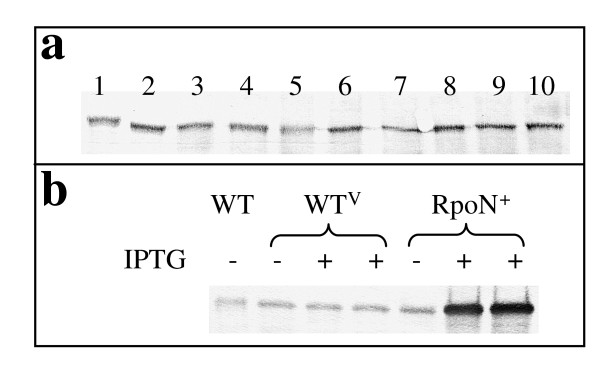RpoN expression . (a) RpoN expression under different growth conditions. 1: NBAF; 2: NBH 2 F; 3: NBLF; 4: ammonium-free NBAF; 5: FWAFC; 6: FWH 2 FC; 7: FWLFC; 8: FWAF; 9: FWH 2 F; 10: FWLF. Media abbreviations were detailed in Methods. (b) RpoN over-expression. Total protein (5 μg) was separated by 10% SDS-PAGE and analyzed by Western blot analysis with the RpoN-specific antiserum. Two biological samples were shown for IPTG-induced WT V and RpoN + strains. IPTG was added at final concentration 1 mM.