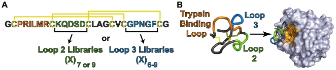 Schematic for interrogating the tolerance of sequence diversity in knottin loops. (A) Six libraries of loop-substituted knottin variants were designed based on the wild-type sequence of EETI. Libraries were created by replacing cysteine-flanked loop 2 (green) or loop 3 (blue) sequences with peptides of randomized amino acids (X) and varying lengths (n). The trypsin binding loop (orange) was not replaced, but instead used as a handle to evaluate the proper folding of EETI loop-substituted clones. Disulfide bonds are shown in yellow. (B) The binding interaction between trypsin (light grey) and EETI (PDB 2eti and 1h9h) is mediated through the trypsin binding loop, and is dependent on the correct formation of all three disulfide bonds. This interaction was exploited for high-throughput isolation of properly folded EETI loop-substituted variants.