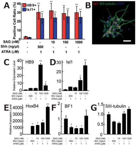 Shh Agonist Acts as a Motor Neuronal Differentiation Factor Equivalent to Shh Protein. (A) ATRA (1 µM) and SAG (10 to 1,000 nM) treatments as well as 1 µM ATRA and 500 ng/µl Shh treatment greatly increased both HB9+ and Is11+ cells. (B) Isl1/βIII-tubulin double-positive cells were observed in ATRA/SAG culture. White bar indicates 20 µm. (C–G) Quantitation of the gene expression levels in ATRA/SAG-treated culture. Two sMN-specific markers, HB9 and Isl1, were upregulated by ATRA/SAG treatment (C, D). A spinal cord marker, HoxB4, was also upregulated (E), while a forebrain marker, BF1, was downregulated by addition of ATRA/SAG (10 and 100 nM) (F). The change in expression of the neural cell marker βIII-tubulin was not statistically significant (G). *p