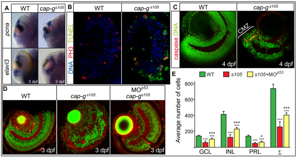 Loss of CAP-G causes p53-mediated apoptosis within the retina . (A) Retinal expression of the proliferation marker pcna or of neurogenesis marker elval3 is not affected in cap-g s 105 mutants as detected by whole-mount in situ hybridizations at 3 dpf. (B) Transverse cryosections of embryonic retinae were stained against phosphorylated histone 3 which marks mitotic nuclei (red), TUNEL to detect apoptotic cells (green), and nuclei counterstained with DAPI (blue) at 24 hpf. Predominantly mitotic cells which divide at the ventricular side of the retina are apoptotic in cap-g s 105 mutants at 24 hpf. (C) Transverse vibratome sections of 4 dpf retinae stained against activated caspase 3 to detect apoptotic cells (red) and nuclei counterstained with propidium iodide (green). At this stage, proliferation is restricted to the CMZ. In cap-g s 105 mutants, cell death is restricted to the CMZ which indicates that proliferative cells are eliminated. (D) Transverse vibratome sections of embryonic retinae counterstained with phalloidin to visualize plexiform layers (red) and propidium iodide (green). cap-g s 105 mutants injected with MO <t>p</t> 53 show a rescue of retinal development and display correct retinal layering. (E) Quantification of cell numbers within different retinal cell layers. Propidium iodide stained transverse retinal sections were used to determine average counts for wild-type (n = 9 section planes, 5 embryos), cap-g s 105 mutants (n = 11 section planes, 7 embryos) or cap-g s 105 mutant/ p 53 morphants (n = 9 section planes, 6 embryos). The average sum of cap-g s 105 mutant retinal cells is reduced by 65% compared with wild-type. In comparison, the average sum of cap-g s 105 mutant/ p53 morphant retinal cells is reduced only by 43% compared with wild-type. Therefore, the severe reduction in retinal cell numbers is in part caused by p53-mediated apoptosis. Data represent average cell numbers per retina ± SD. T-test p-values for cell number differences in comparison to wild-type: ***, p