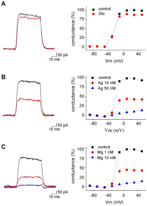 Effects of α-dendrotoxin (A, 50 nM), <t>agitoxin-2</t> (B, 10 and 50 nM) and margatoxin (C, 1 and 10 nM) on the leak subtracted current induced by a voltage step from −70 to +40 mV (black traces recorded in control, red traces after drug application). The leak conductances of the cells in A, B and C were 338, 862 and 332 pS, respectively. The graphs on the right represent the conductance, normalized to its maximum value, as a function of the membrane potential and its inhibition by α-dendrotoxin (A, n = 4, Dtx), agitoxin-2 (B, AgTx, n = 14 for 10 nM, n = 6 for 50 nM) and margatoxin (C, MgTX, n = 8 for 1 nM, n = 11 for 10 nM).