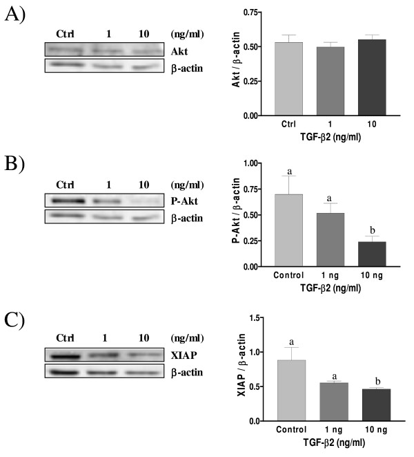 Expression of Akt (A), Phospho-Akt (B) and XIAP (C) in cultured rat decidual cells in vitro in response to TGF-β2 (ng/mL) as demonstrated by Western blot analysis . <t>β-actin</t> blots shown were used as controls to correct for loading in each lane. Blots shown are from one representative experiment. Graphics represent Western blot densitometrical analysis. Data represent the mean ± SEM of four independent experiments. Columns with different letters are significantly different from each other (P