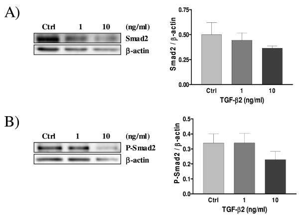 Expression of Smad2 (A) and Phospho-Smad2 (B) in cultured rat decidual cells in vitro in response to TGF-β2 (ng/ml) as demonstrated by Western blot analysis . β-actin blots shown were used as controls to correct for loading in each lane. Blots shown are from one representative experiment. Graphics represent Western blot densitometrical analysis. Data represent the mean ± SEM of four independent experiments.