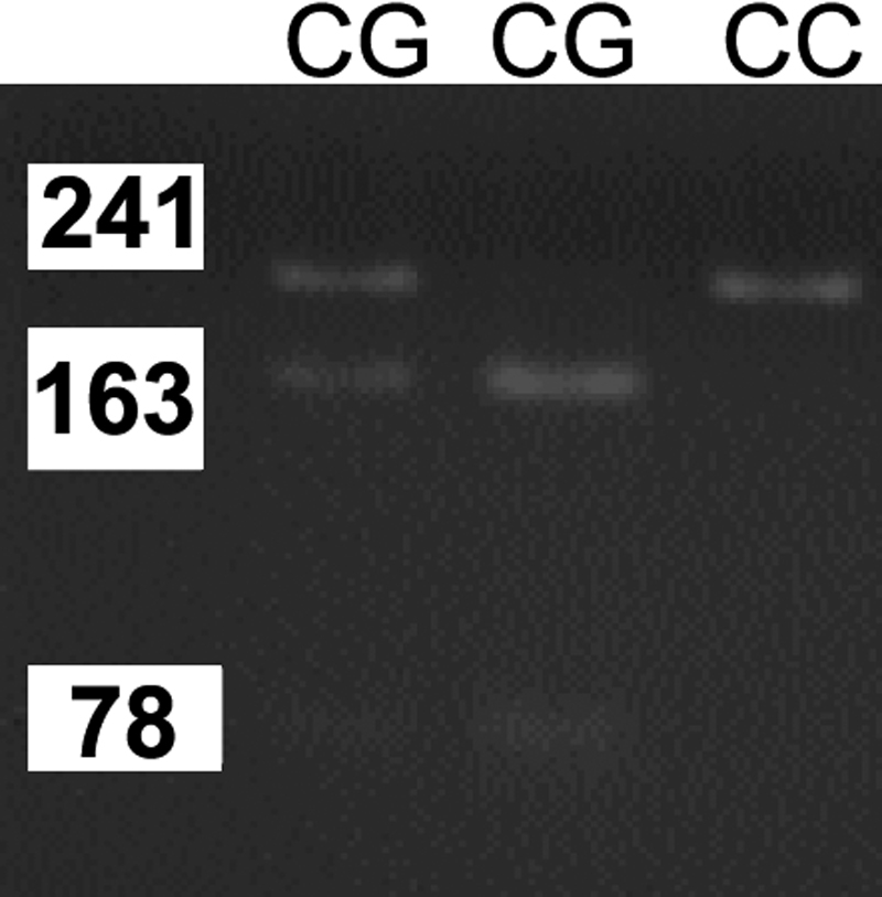 """The PCR product of bFGF ( rs308395 ) polymorphism. The PCR product of βFGF2 - rs308395 polymorphism was digested with BsrI. The """" C """" allele was 241 bp and the """" G """" allele was 163 bp + 78 bp."""