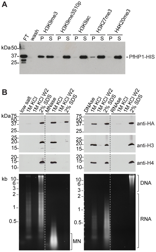 PfHP1 binds specifically to H3K9me3 and is associated with parasite heterochromatin. (A) Peptide competition demonstrates the specific binding of PfHP1 to H3K9me3. Recombinant PfHP1-HIS bound to a biotinylated H3K9me3 peptide was immobilized on streptavidin agarose beads. PfHP1 was only eluted by competition with the H3K9me3 peptide (lane 3), whereas peptides H3K9me3S10p (lane 5), H3K9ac (lane 7) and H4K20me3 (lane 11) were unable to compete. PfHP1 had weak affinity for H3K27me3 (lane 9). After elution with peptides, remaining PfHP1-HIS was eluted with high salt (lanes 4, 6, 8, 10, 12). P, peptide elution; S, high salt elution; FT, Flow-through after coupling of PfHP1-HIS; wash, last wash prior to peptide elution. The Western blot was probed with anti-6×HIS antibodies. (B) Solubility of PfHP1, H3, H4, gDNA and RNA after treatment of parasite nulcei with nucleases. Isolated nuclei were extracted either with low-salt, MNAse, DNAse or RNAse, followed by serial treatment of the insoluble pellets with high-salt and SDS. Lanes 1–4: PfHP1 and H3/H4 were tightly associated with the salt-insoluble fraction. Partially degraded RNA and undigested gDNA were apparent in the high-salt and SDS-soluble fractions. Lanes 5–8: Digestion with MNAse solubilizes approx. 50% of PfHP1 and the entire pool of H3/H4. RNA was degraded by the single-stranded nuclease activity of MNAse. Mononucleosomes (MN) were completely extracted with 1 M KCl. Lanes 9–12: After digestion of nuclei with DNAseI, PfHP1 and H3/H4 extracted equally with high-salt and SDS. Genomic DNA was completely digested and partially degraded RNA extracted with high-salt and SDS. Lanes 13–16: Treatment with RNAse A did not affect the extractablity of PfHP1 and H3/H4. RNA was completely digested by RNAse A whereas intact gDNA remained associated with the insoluble fraction. Equal amounts were analysed for each protein and nucleic acid sample. RNA in ethidium bromide stained gels was identified by re-examination of the gel after